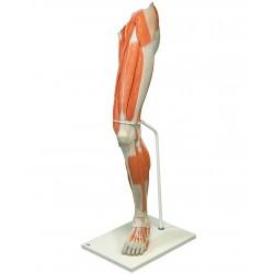 Luxusní model svalstva nohy v životní velikosti - 7 částí