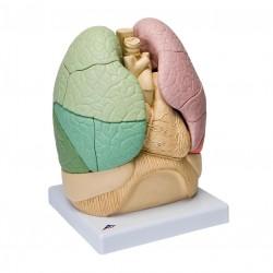 Model segmentů plic