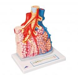 Model plicního laloku s cévami
