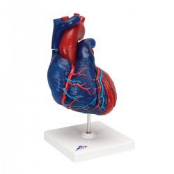 Model srdce v životní velikosti na stojanu - 5 částí