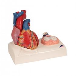 Model srdce v životní velikosti na podstavci - 5 částí