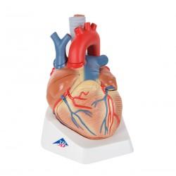 Model srdce - 7 částí