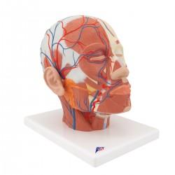 Model hlavy svalstva s cévami