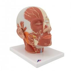 Model hlavy svalstva s nervy