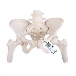 Kostra ženské pánve s hlavičkami stehenních kostí - flexibilní