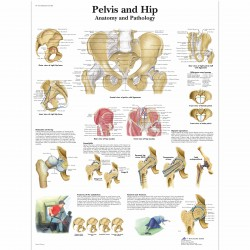Pánev - 50 x 67 cm plakát anatomie / papír bez lišt