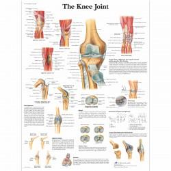 Koleno - 50 x 67 cm plakát anatomie / papír bez lišt