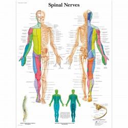 Spinální nervy - 50 x 67 cm plakát anatomie / papír bez lišt
