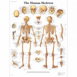 Kostra - 50 x 67 cm plakát anatomie / papír bez lišt