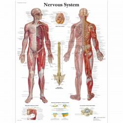 Nervový systém - 50 x 67 cm plakát anatomie / papír bez lišt