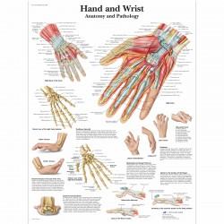 Ruka - 50 x 67 cm plakát anatomie / papír bez lišt