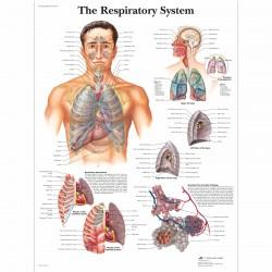 Dýchací cesty - 50 x 67 cm plakát anatomie / papír bez lišt