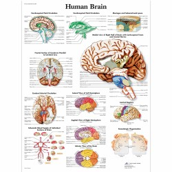 Mozek - 50 x 67 cm plakát anatomie / papír bez lišt
