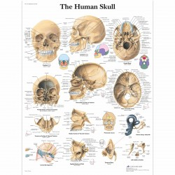 Lebka - 50 x 67 cm plakát anatomie / papír bez lišt