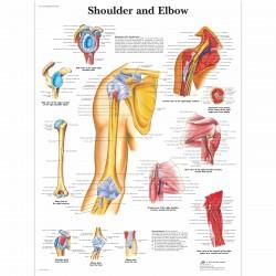 Rameno - 50 x 67 cm plakát anatomie / papír bez lišt