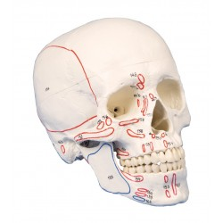 Lebka s označenými svaly - 3 části