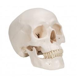 Lebka klasická základní