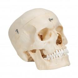 Lebka realistická BONElike - 6 částí