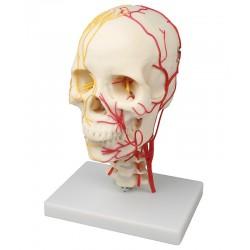 Neurovaskulární model lebky
