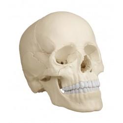 Osteopatický model lebky - 22 částí